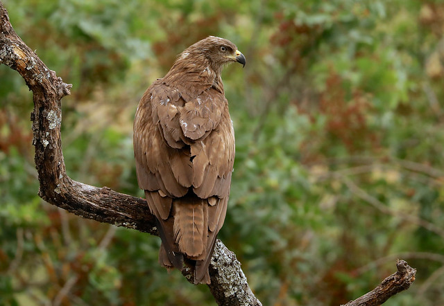 Black Kite --- Milvus migrans