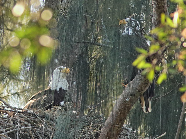Bald Eagles exchanging incubation duties 01-20191207