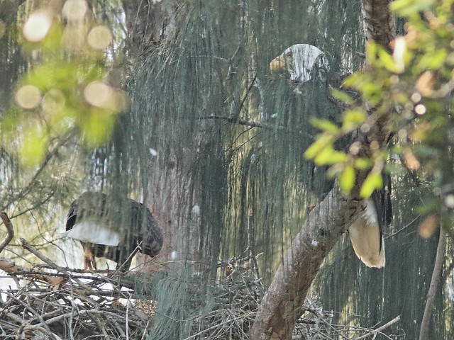 Bald Eagles exchanging incubation duties 03-20191207