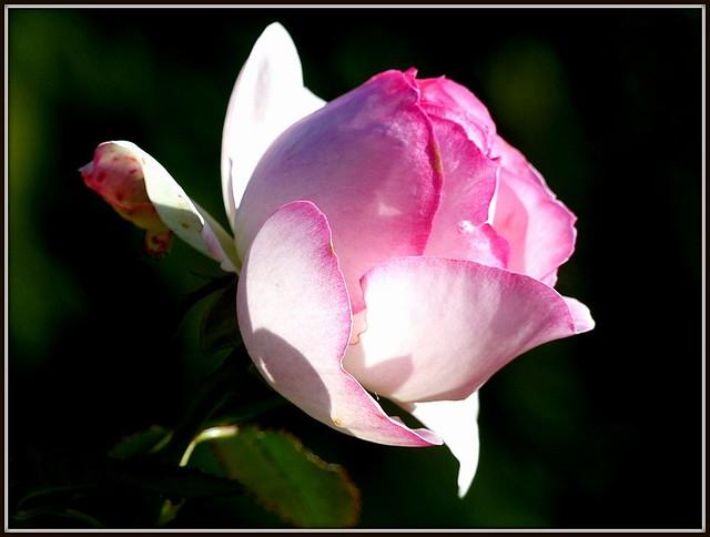 ma rose préférées, un fois !!! 2019