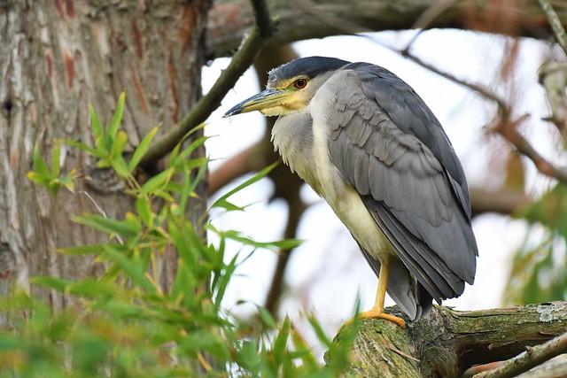 Bihoreau gris - Phalacrocorax carbo - Black-crowned night heron