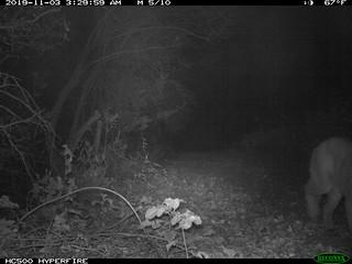 Mountain Lion 11/3/2019 @3:29am; motion-sensor camera.
