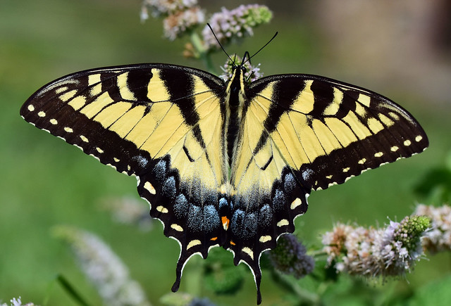 810_5908. Tiger Swallowtail