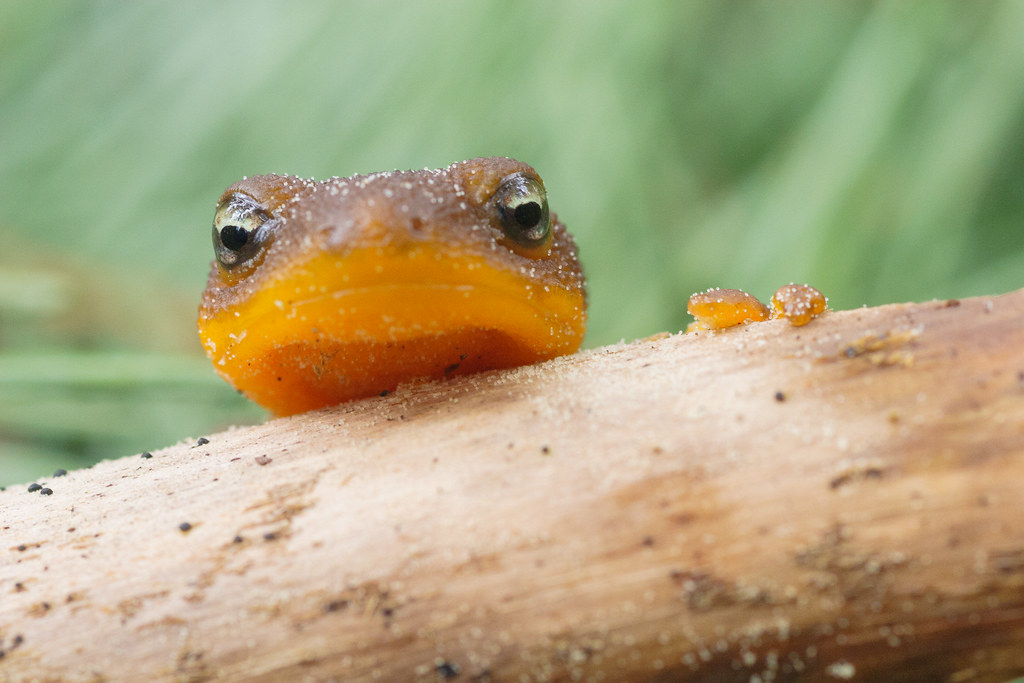 A rough-skinned newt covered in grains of sand peeks over a branch lying on the ground on the Intertie Trail at William L. Finley National Wildlife Refuge in Corvallis, Oregon in April 2006