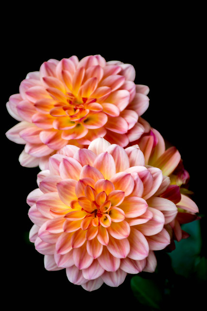 Pink and orange chrysanthemum on black background