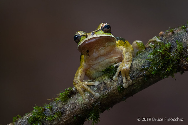 New Granada Cross-banded Tree Frog On An Epiphyte Covered Branch
