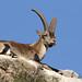 Cabra montés ♂(Capra pyrenaica)