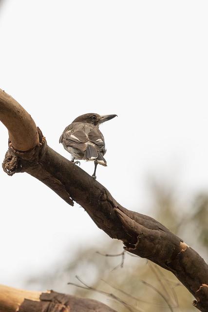 Grey Butcherbird20191206_001