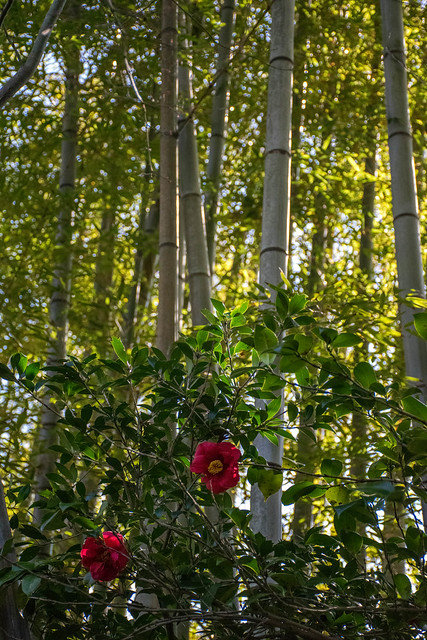 Two red camellia flowers in bamboo forest