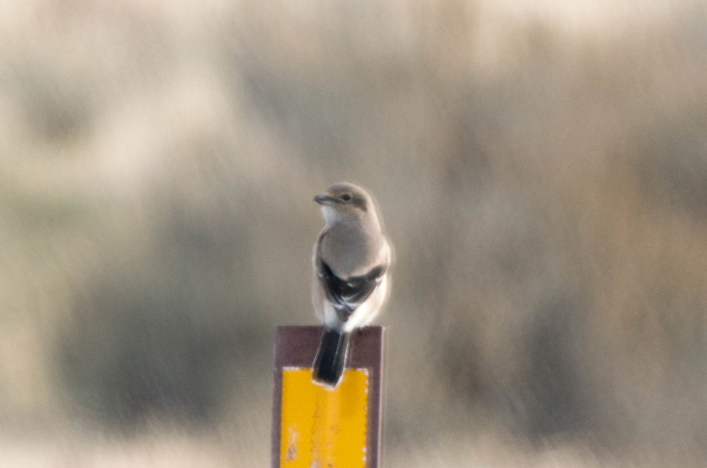 Shrike (1 of 1)