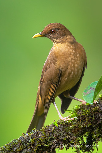 Portrait Of An Adult Clay-colored Thrush