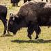bison mvt