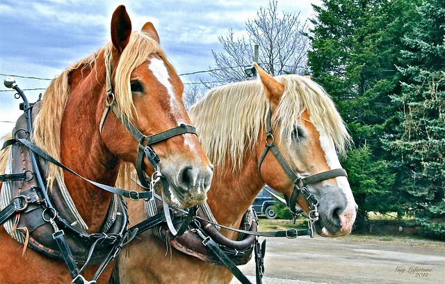 HORSES at the SUGAR SHACK in STE-ANNE-DES-PLAINES ( Quebec ) CANADA