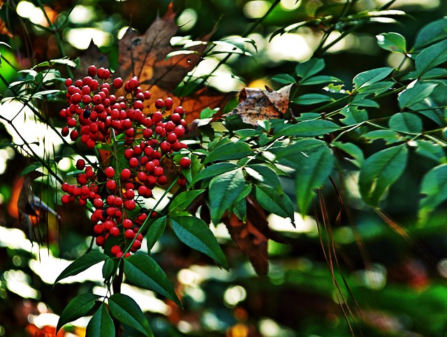 """Heavenly Bamboo ('Nandina')"""