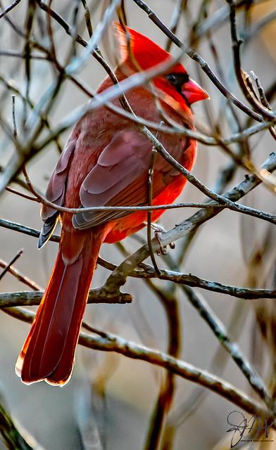2019.12.07.8793 Northern Cardinal