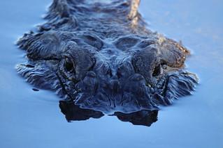 Watching you - Large Alligator