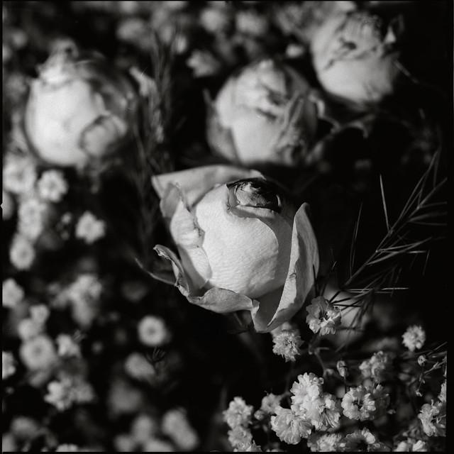 Roses in Melancholia (I)