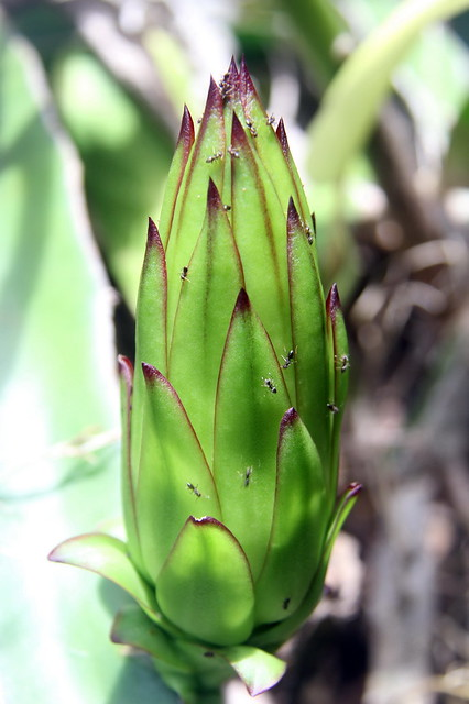 Fleur et fruit de Pitaya ou Dragon Fruit en devenir