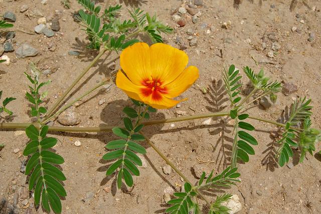 Arizona Poppy (Kallstroemia grandiflora).  South-eastern Arizona, USA.