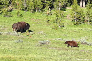 Bison and Black Bear, Yellowstone National Park, Wyoming