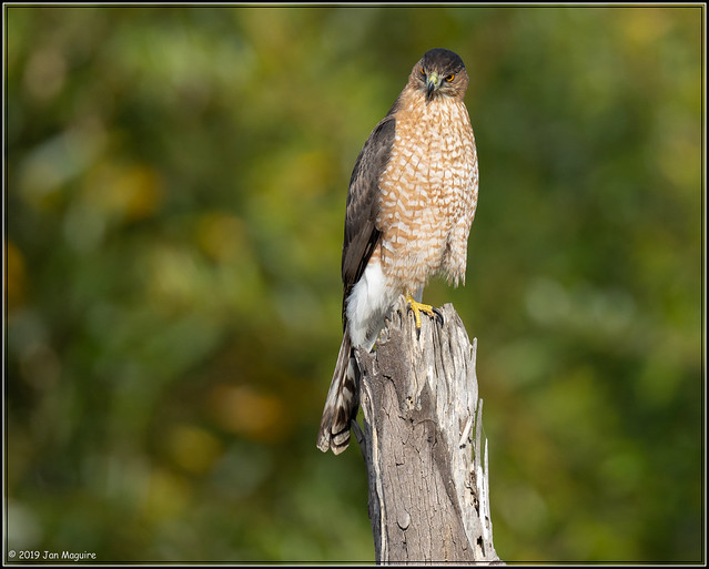 Cooper's Hawk 0757
