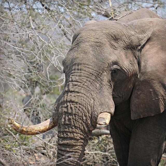 elephant missing a teeth