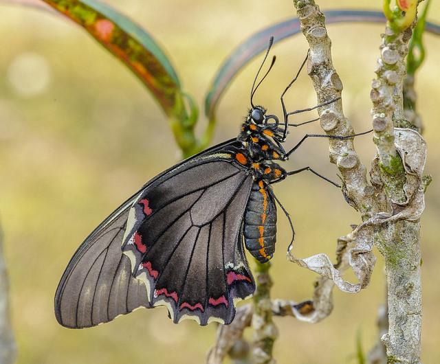 Polydamas Swallowtail - Battus polydamas (Papilionidae, Papilioninae, Troidini) 110n-1071