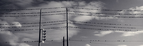 pigeons perched unmoving inrows onthewire onthewires waitingformetowalkunder manymany lots loads quiteafew uncounted blackandwhite blackwhite bw toned cameraphone blackberry dtek50 img201912071512017