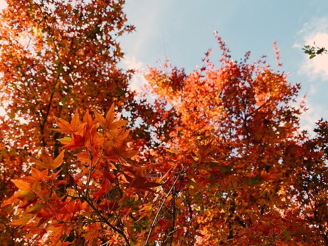 my japanese maple.