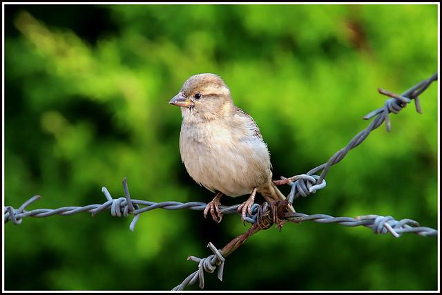 9428 - house sparrow