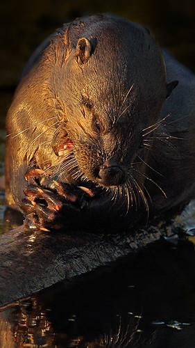 Otter eats escargot