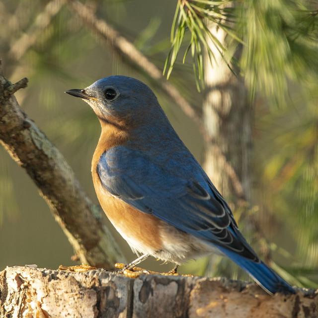 Bluebird-4486