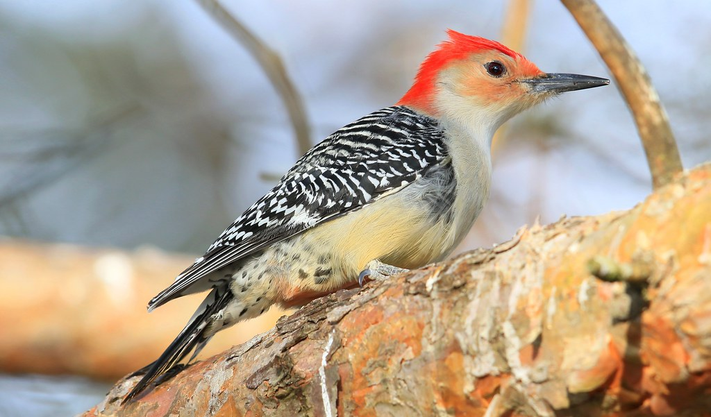 red-bellied woodpecker male at Lake Meyer Park IA 653A0429