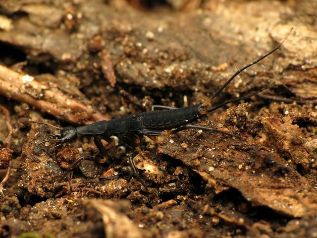 False Bombardier Beetle Larva