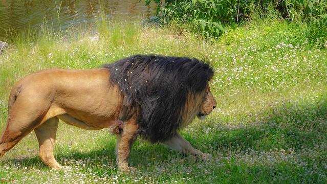 #Lion - 7823
