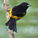 Male Black-cowled Oriole Perched On A Thin Tree Trunk