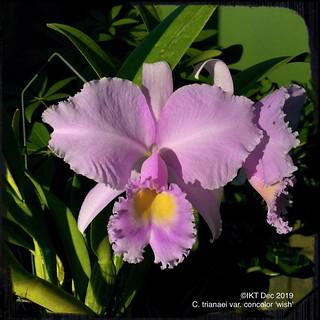 C. trianaei var. concolor