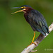 While Perched A Green Heron Squawks Out Its Call