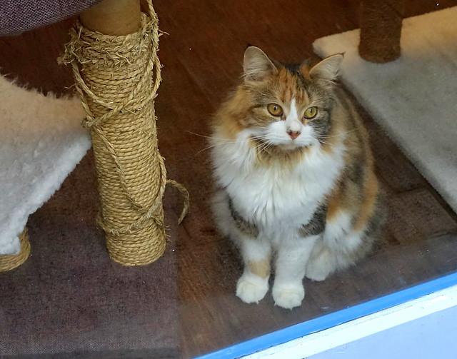 Cat at Preston's Cat Cafe