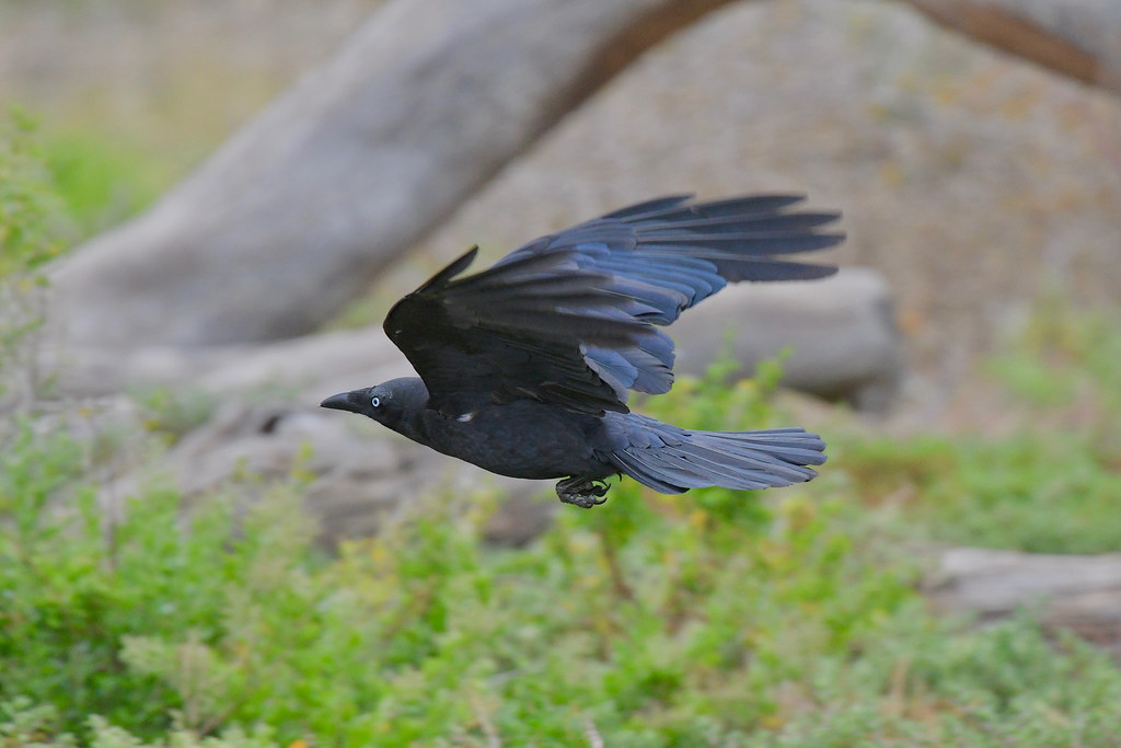 Little Raven ( on a mission )