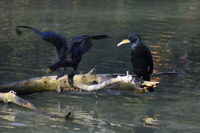 Cormoranes negros