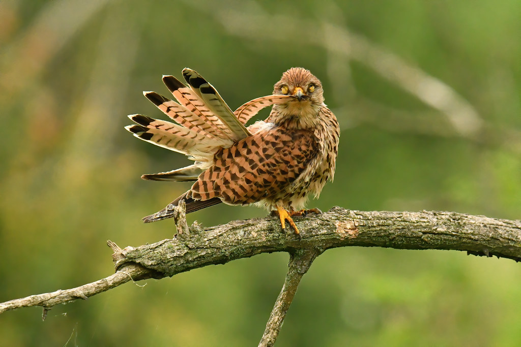 Common Kestrel 2019-06-04_07