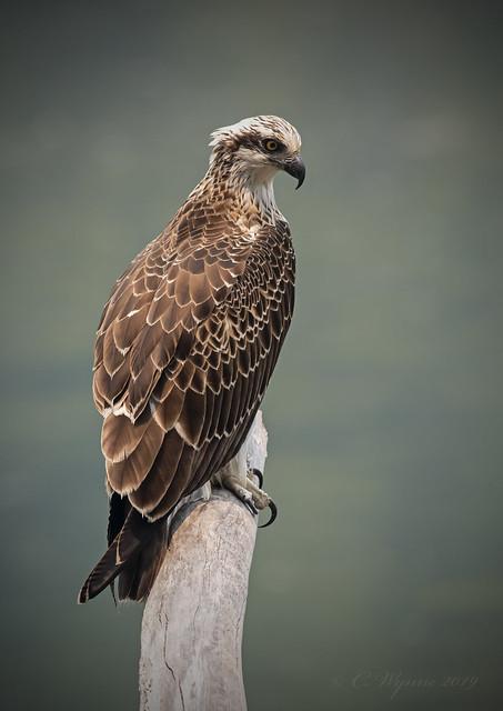 Eastern Osprey (Immature)