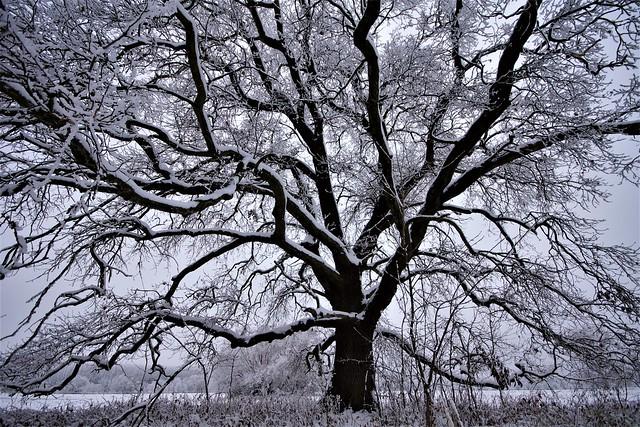 Century-old oak (Quercus robur) on the Sajó floodplain in winter