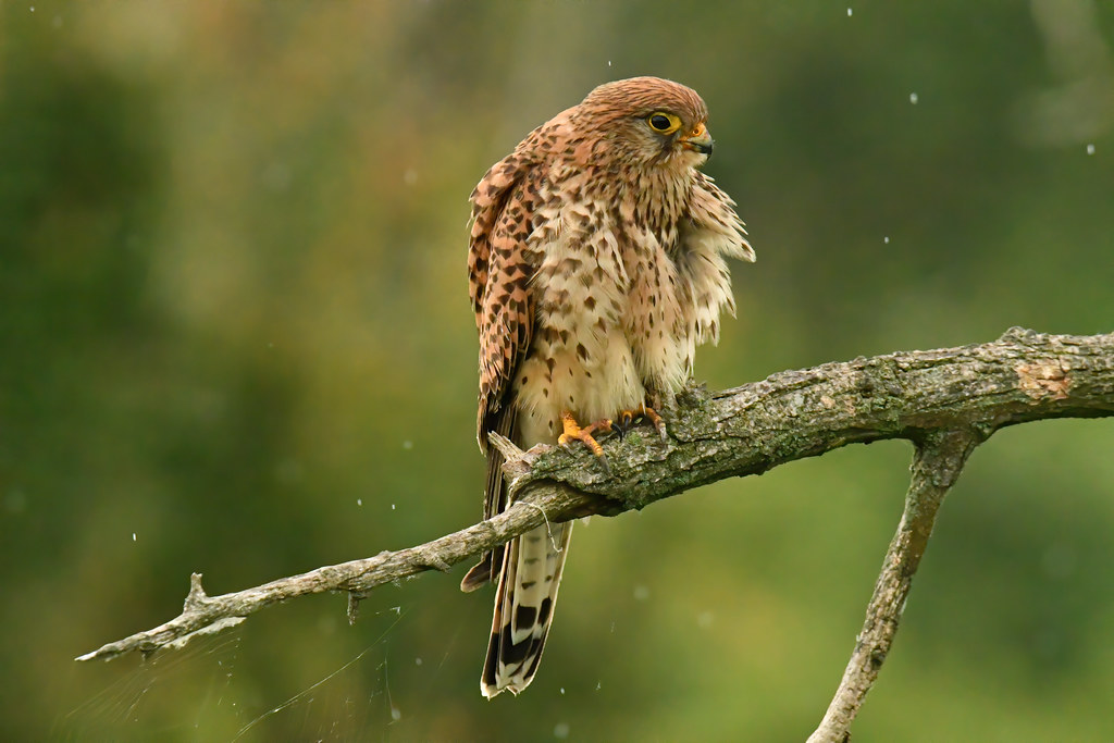 Common Kestrel 2019-06-04_06