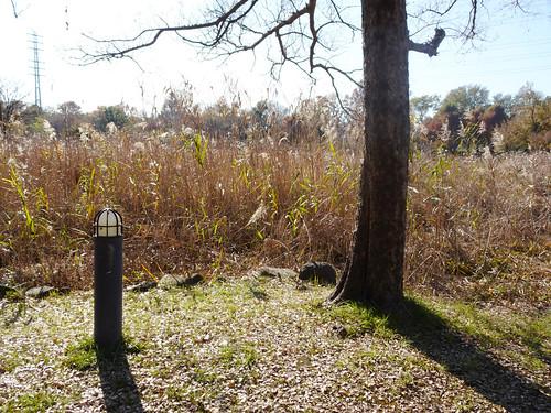 埼玉県さいたま市見沼自然公園のアシ