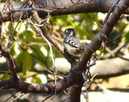 埼玉県さいたま市見沼自然公園の野鳥・コゲラ