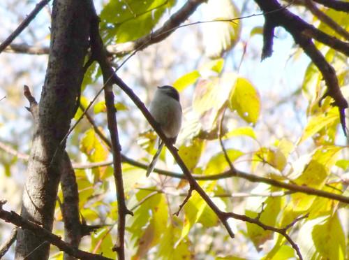 埼玉県さいたま市見沼自然公園の野鳥・エナガ