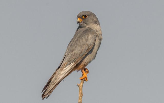 Kék vércse (Falco vespertinus)