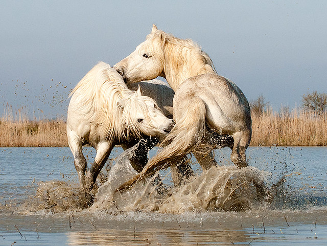 White Camargue Stallions Play Fighting in Water (1A)